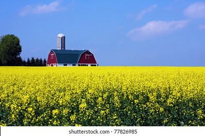 a canola farm in southwestern Ontario