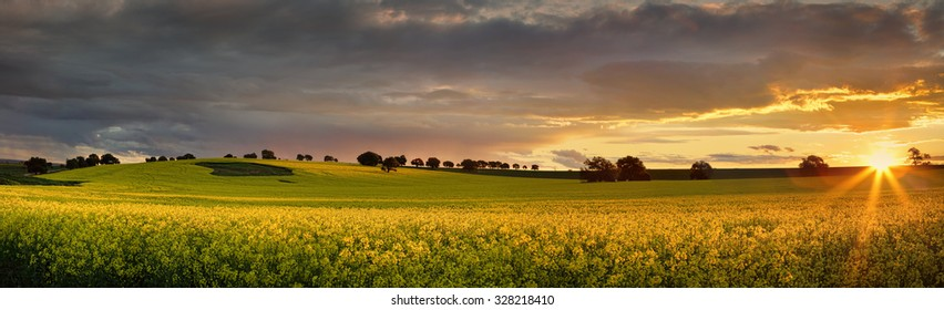 Canola farmlands  in rural Central West of NSW  at sunset, the last rays spread their warm light on the golden canols. Panorama