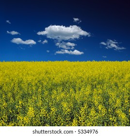 Canola Field and Blue Sky with Clouds
