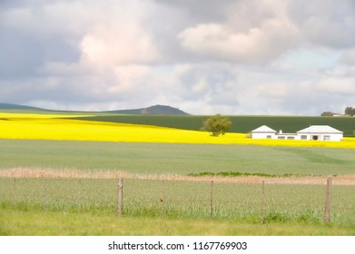 CANOLA FIELD, Clanwilliam, Western Cape, South Africa