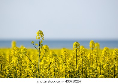 Canola field closeup with a blurred blue sea as background
