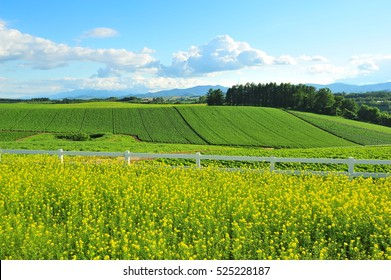Canola Field in Countryside