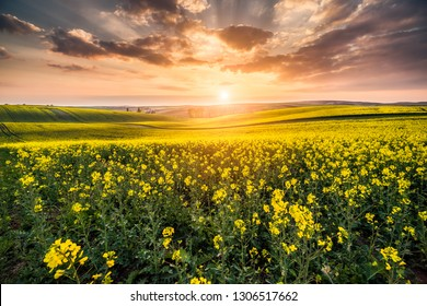 Canola field during spring bloom season in Moravian Tuscany, Czech Republic with setting sun in the evening and dramatic clouds.