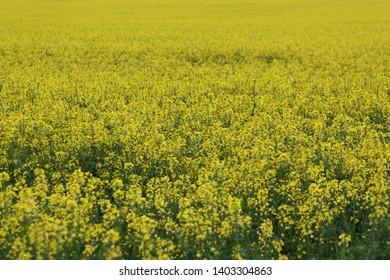 canola field in flower Horsham Victoria Australia