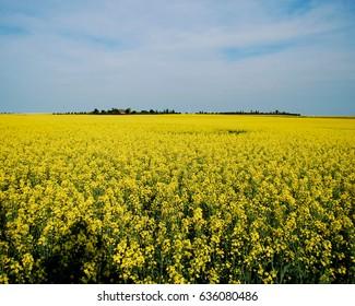 Canola field in full bloom in the summer sun in Lethbridge, Alberta, Canada.