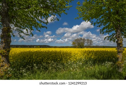 Canola field near Roma on the island of Gotland, Sweden.