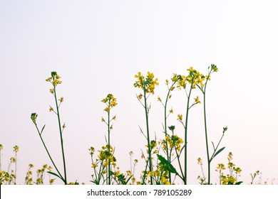 Canola field with canola oilseed and yellow rape flowers.