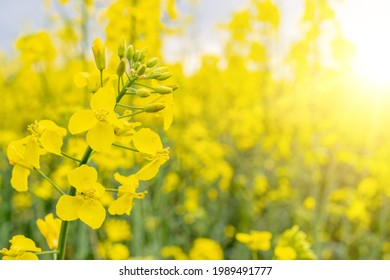 Canola field. Rapeseed plant, colza rapeseed for green energy. Yellow rape flower for healthy food oil on field. Springtime golden flowering