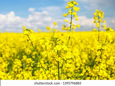 canola field with ripe rapeseed, blue sky, agricultural background