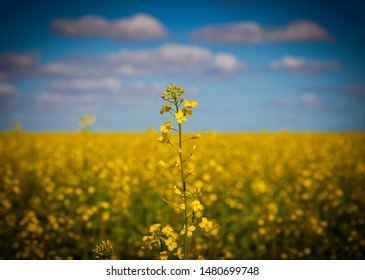 Canola field, Single stem in front of field of yellow flowers used for making canola oil. Blue sky dotted with white fluffy clouds.