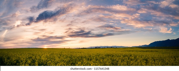 Canola field in the sunset near Kalispell Montana