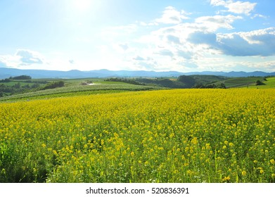 Canola Field Under The Sun in Summer