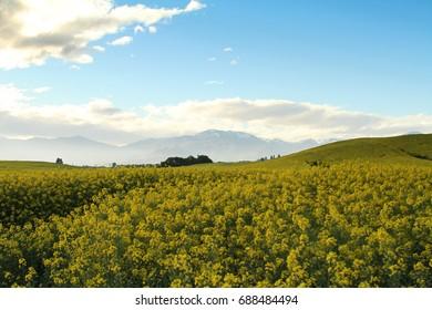 Canola field, Yellow Flower field, rapeseed field at South Island, NZ