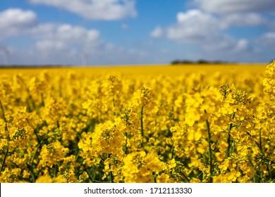 Canola fields blooming in Denmark in summer. beautiful yellow fields.