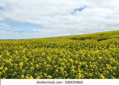 Canola fields in Nsw Australia