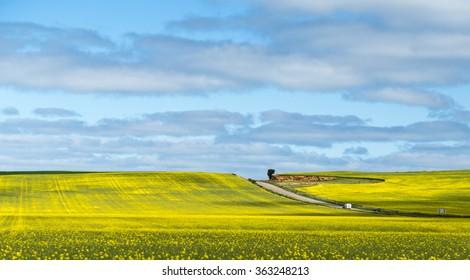 Canola fields in Nsw Australia between Hay and Mildura
