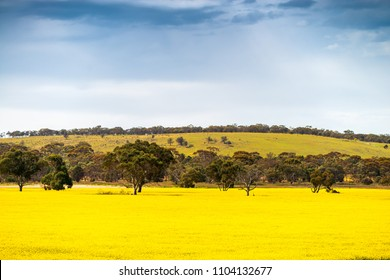 Canola fields on a day near Murray Bridge, South Australia