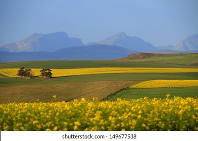 Canola Fields in The Overberg - South Africa