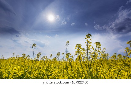 Canola fields in remote rural area, profiled on beautiful sky