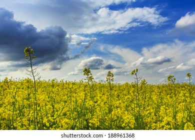 Canola fields in rural area and beautiful sky