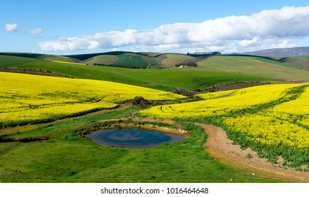 Canola Fields South Africa