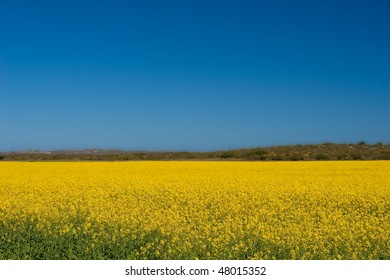 Canola fields in the Western Cape, South Africa