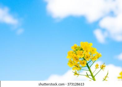 canola flower images stock photos vectors shutterstock