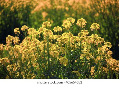 Canola flower field, Backlight