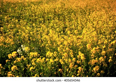 Canola flower field, Gradation