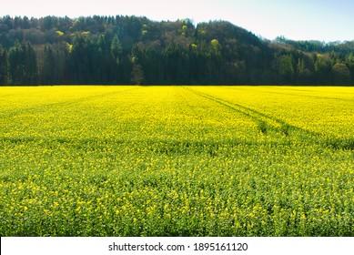 canola flower field in spring