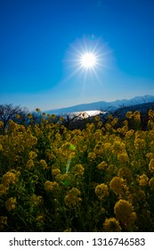 Canola flower garden at Azumayama park in Shounan Kanagawa. Shounan Kanagawa Japan - 01.29.2018 : It s a canola feild at the garden in Kanagawa. camera : Canon EOS 5D mark4
