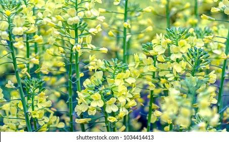 Canola Flowers bloom yellow in the field to create a beautiful yellow flower carpet. This is an oil plant that is good for human health