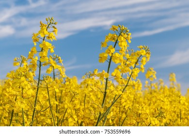Canola flowers in a canola field (Rapeseed, Brassica napus)