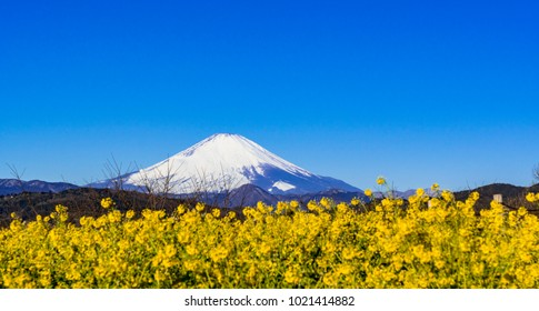 canola flowers and mt. fuji
