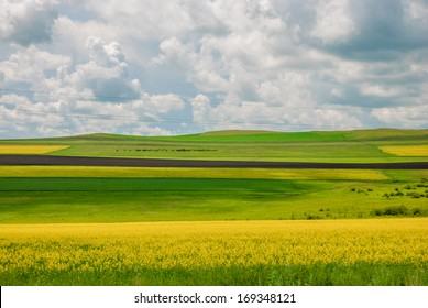 canola flowers in prairie, Inner-Mongolia, China