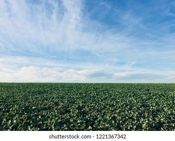 Canola , rapeseed or Colza - Green young plants with sky background
