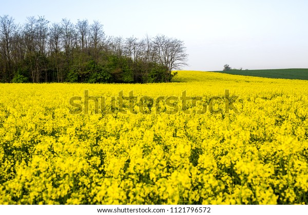 Canola, rapeseed field blooming.