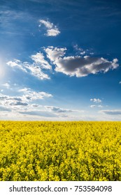 Canola rapeseed flowers at field