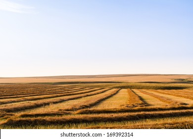 Canola Swathed and Ready for Harvest