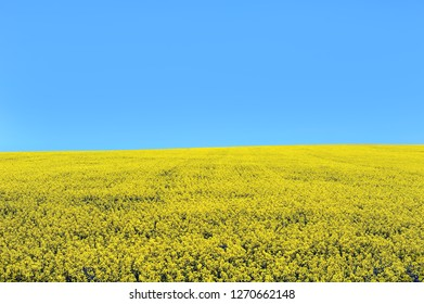 Canola/rapeseed field in Ontario