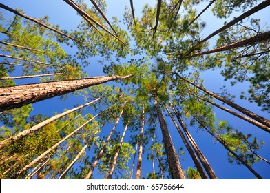 Canopies of Longleaf pine (Pinus palustris)
