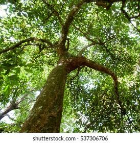 Canopy of avocado tree - landscape