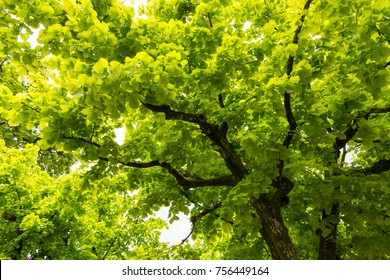 Canopy of  Ginkgo Biloba trees, natural background.