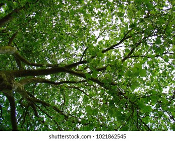 The canopy of leaves