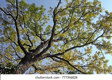 Canopy of mahogany tree with colorful autumn leaves, viewed from ground level against bright blue sky, in Kerala, India.