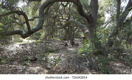 Canopy of old, twisted oak trees and layers of branches in a forest.