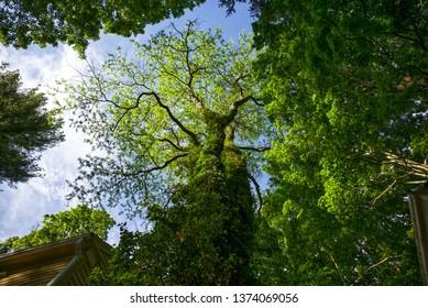 the canopy of a rare Honey Locust tree