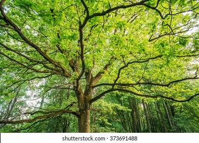 Canopy Of Tall Oak Tree. Deciduous Forest, Summer Spring Nature. Upper Branches Of Tree