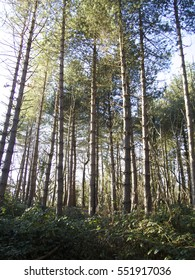 Canopy Of Tall Pine Trees. wide view Branches Of Woods with warm light in the morning, blue sky and green forest floor