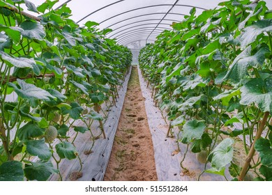 Cantaloup melon in greenhouse supported by string melon nets.